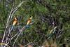 GRUCCIONI - S'ENA ARRUBIA 13.06.2010 001 (sandro piras or) Tags: sardegna natura oristano senaarrubia gruccioni senaarrubia13062010