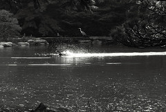 take off (Chesky_W) Tags: bw water pool garden tokyo duck 東京 splash furukawateien 白黒写真 chesky ef50f18ii 旧古川庭園 eos40d