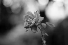 Rosa (ΞSSΞ®®Ξ) Tags: ξssξ®®ξ pentax k5 flower summer angle 2016 bokeh smcpentaxm50mmf17 blackandwhite monochrome depthoffield plant rose blossom garden outdoor serene blur