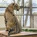 Jaguar Gamboa Wildlife Rescue pandemonio 2017 - 12