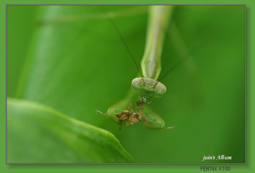 弱肉強食的生態-螳螂捕食