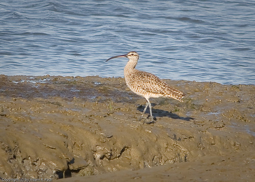 Whimbrel by you.