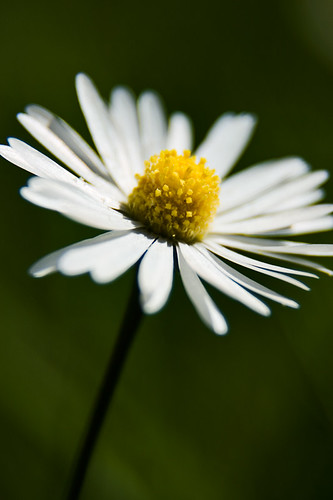 Close up of a daisy.