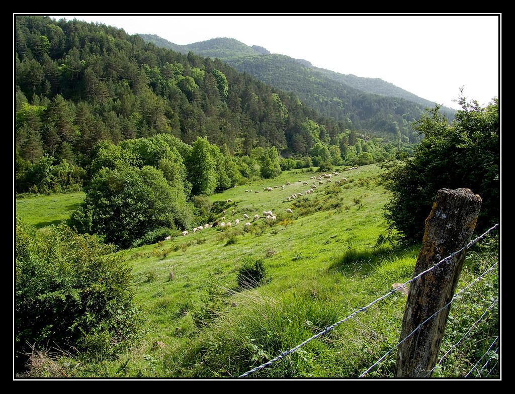 Ovejas pastando derca de Ayechu (Navarra)