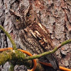 The Momma Owl (Gigapic) Tags: orange tree bird cord power camo raptor hero owl western winner predator hoot screech herowinner