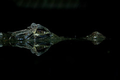 Croc (DerkB) Tags: boulogne crocodile nausicaa boulognesurmer lpfloating