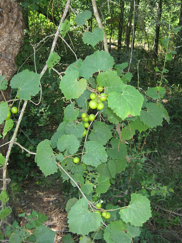 MuscadineGrapes