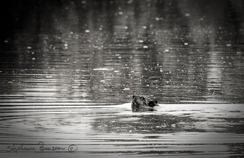 Swiming away