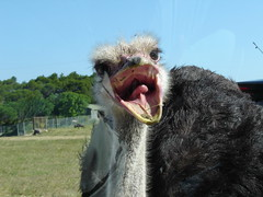 vacances juny 2009 368 Estruç / Ostrich (visol) Tags: france vacances holidays frança avestruz francia vacaciones estruç sigean worldofanimals