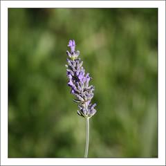 Lavanda / Lavender () Tags: miguel canon eos lavender lavanda lavandula espliego 450d 70200f4lis alhucema cantueso lamiceas