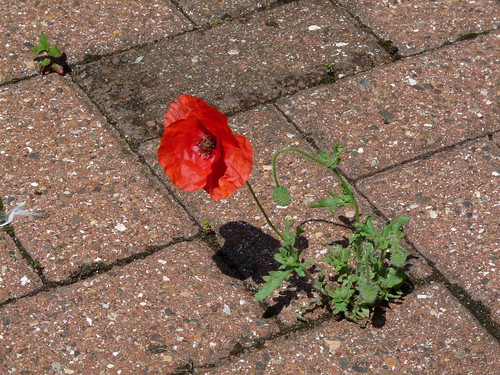 Lonely Poppy, July 2009 by Tyneside-Rob.