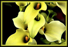 Calla Lily (powerwasher) Tags: garden center callalilly lowes nikond90