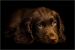 Troy (andrewwdavies) Tags: shadow dog pet brown cute green woof beautiful umbrella puppy big eyes inch chocolate hound convertible ears canine explore sleepy age tired reflective spaniel 24 cocker pup westcott satin onsale liver frontpage warmup softbox bounce 43 thebeast fill gundog sadface onblack 10weeks hotshoe canonspeedlite430ex offcameraflash doublefold explored pocketwizard canonef24105mmf4lisusm 43inch strobist plusii canon40d canonspeedlite580exii colourtemperatureorange 14cto andrewwilliamdavies ezfold westcottdouble foldumbrellaconvertiblesatinbouncereflective24ezfold