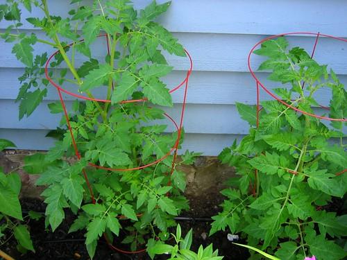 Tomato Plants Growing Big