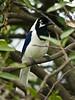 White-tailed Jay (Cyanocorax mystacalis) (David Cook Wildlife Photography) Tags: peru lambayeque fbwnewbird fbwadded cyanocoraxmystacalis kookr whitetailedjay chaparríprivateconservationarea chaparrílodge