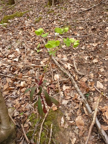 wood-spurge-woodland-floor-outside-winchester-14.04.09-no2