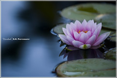 247.  / Divided (Eyes of sky) Tags: losangeles waterlily   superaplus aplusphoto 80200mmf28afs platinumheartaward
