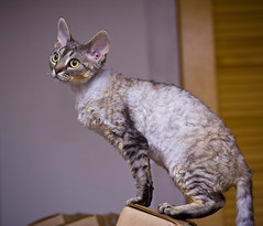 Kiku and the Art of Box Balancing (kotobuki711) Tags: pink brown yellow cat silver moving stripes tabby kitty kittens boxes balancing 7months devonrex kiku devonshirerex