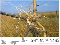 互花米草發達的根系