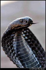 Cobra 3 (Cstor Villar) Tags: voyage travel naturaleza net nature cobra viajes morocco serpent marruecos moroc serpientes marruecosfotograficoes