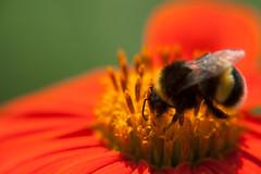 Parc Floral - Vincennes-11 (MissDogo) Tags: paris macro fleur closeup parc insectes vincennes parcfloral bourdon proxyphoto hym hyménoptères hymnoptres