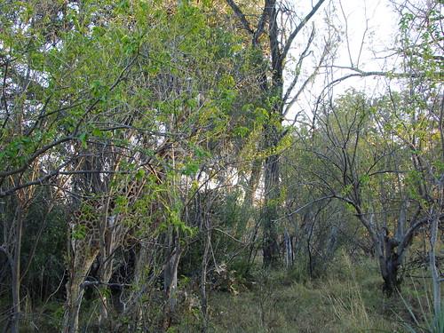 DSC07502 Southern Giraffe hiding