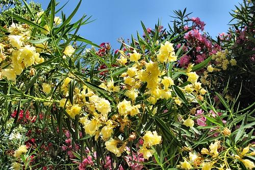 Nerium oleander (rq) - 04