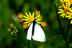 Butterfly or Moth? - Barlow Common Nature Reserve (Chris McLoughlin) Tags: uk flowers england white flower macro nature yellow closeup sony yorkshire moth 100mm barlow northyorkshire a300 selby sal100m28 sonya300 sonyalpha300 alpha300 chrismcloughlin barlowcommonnaturereserve