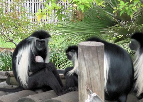 primate8