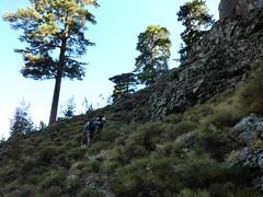 Arrivée au bosquet de pins entre les deux échancrures