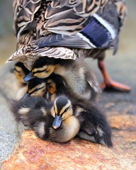 Ducklings Seeking Shelter (IRainyDays) Tags: ducklings avianexcellence