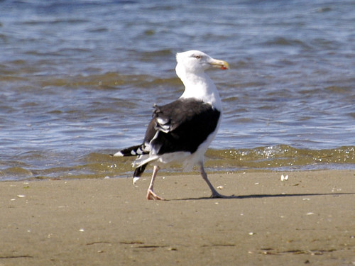 gull walking laugh
