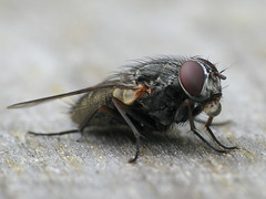 Bubble-blowing House Fly (Aylesbury_Mark) Tags: macro water canon fly blowing powershot bubble housefly a650 raynoxdcr250 a650is
