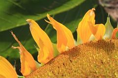 sole - girasole (clapat) Tags: flower yellow amarillo giallo sunflower fiore geel settembre 2009 girasole girasol bloem zonnebloem