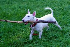 I HAZ A STIK! (Maia C) Tags: kodakz1015 kodakeasysharez1015is maiac visitors friends myhouse sbethell jackdog dog englishbullterrier comment