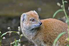 Yellow Mongoose (Truus & Zoo) Tags: netherlands animals zoo apenheul apeldoorn dierentuin yellowmongoose cynictispenicillata vosmangoest leastconcern