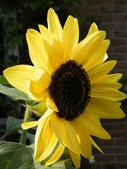 0909260037 (vonzies) Tags: flowers summer dutch fujifinepix