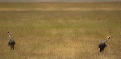 Parade nuptiale (orang_asli) Tags: africa bird nature animals tanzania nationalpark crane champs ngorongoro fields oiseau grue vulcano lieux afrique volcan aficionados faune graycrowned naturel tanzanie savane parcnational géographie gographie