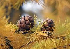 Golden (alaskanshelly) Tags: tree fall nature pine gold pinecones