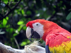 IMG_1300-WDW-DAK-Scarlet-Macaw-closeup