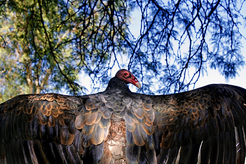 Turkey vulture splendor