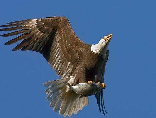 American Bald Eagle 8651