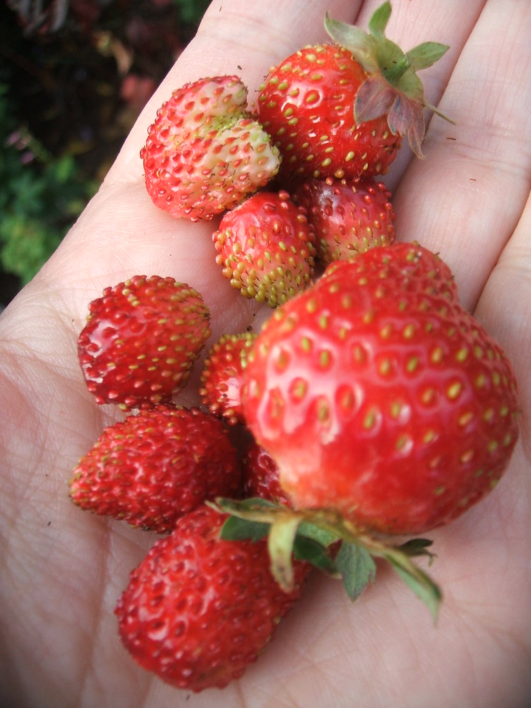 Late fall handful of strawberries