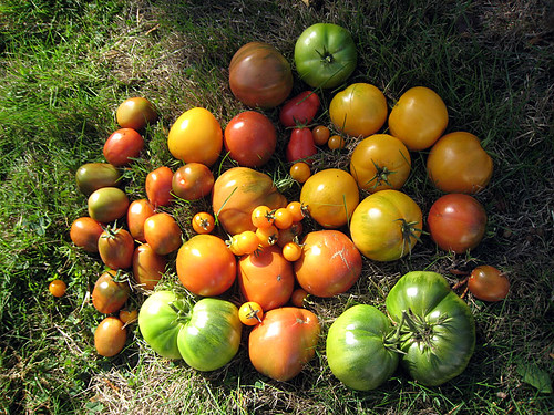 Last of the Tomatoes