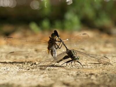 Dragonflies mating, another angle