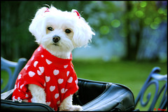 One Sweet Afternoon (Moniza*) Tags: life portrait dog pet nature animal puppy spring nikon afternoon sweet bokeh canine explore snowball maltese explored moniza