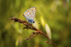 In The Fields Of Kasnakovo (Didenze) Tags: light field closeup rural butterfly bokeh naturallight bulgaria didenze kasnakovo