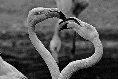 In Love (heiko.moser (+ 11.700.000 views )) Tags: flamingo bird birds vogel vögel love herz bw blackwhite blancoynegro noiretblanc natur nb nero nature natura nahaufnahme entdecken eyecatch discover monochrom mono sw schwarzweiss schwarzweis animal animale tier tiere heikomoser