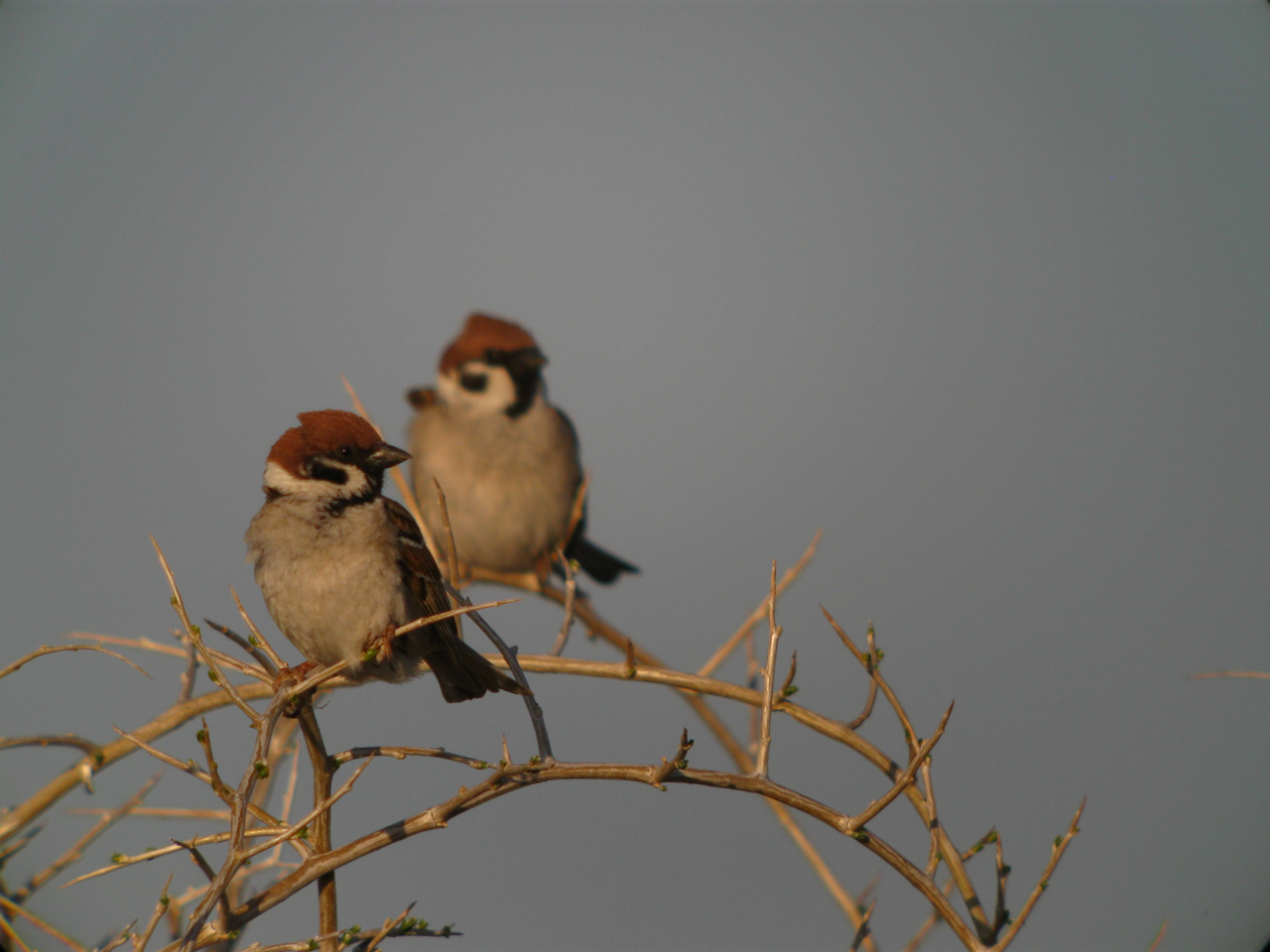 Tree Sparrows.JPG