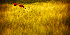 Strangers On A Field (rasenkantenstein) Tags: light shadow red summer sun flower colour texture field germany landscape gold golden corn colours wheat clarity magdeburg poppy cheesy rasenkantenstein justanotherflowerpic